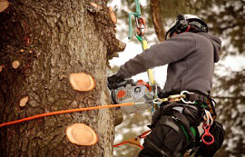 Tree surgery crown lifting, Sheffield, South Yorkshire