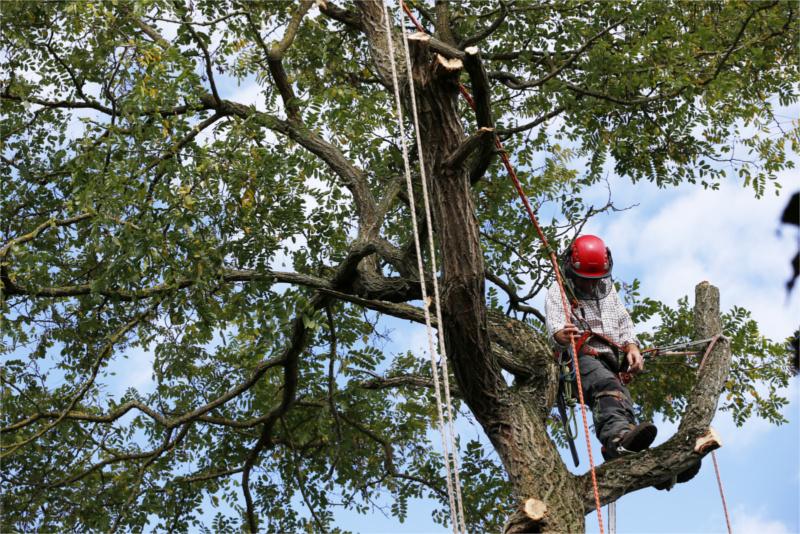 tree surgeon crownthinning